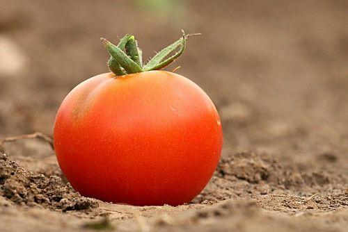 Уникальный способ посадки томатов под зиму в теплице