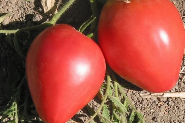 Личи - фрукт: полезные свойства и противопоказания, как есть