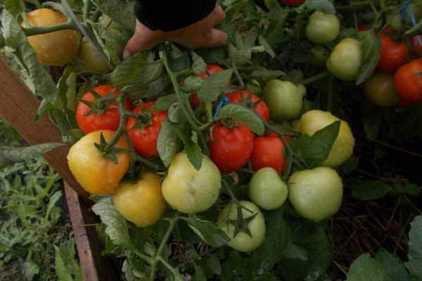 Томат Видимо-невидимо характеристика и описание сорта, урожайность с фото