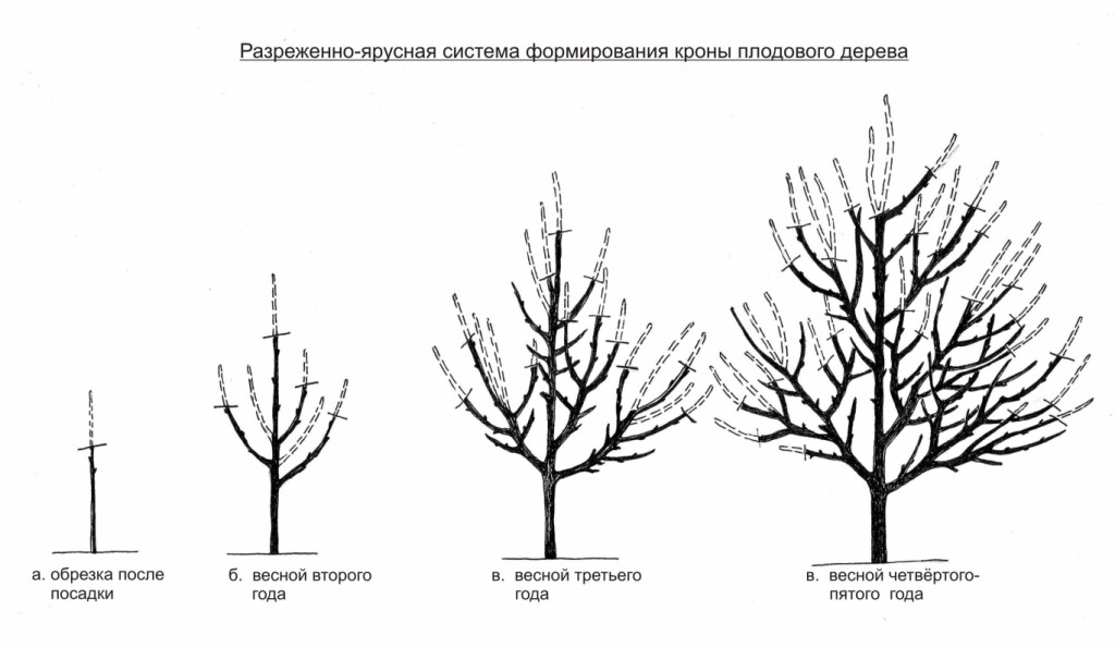 Схема обрезки молодых яблонь в первые годы жизни
