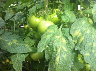 Как появляется болезнь на томатах