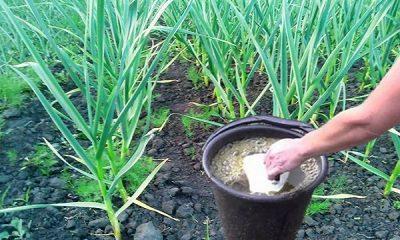 Чем подкормить чеснок весной и летом, чтобы получить хороший урожай?