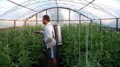 Опрыскиваем томаты правильно