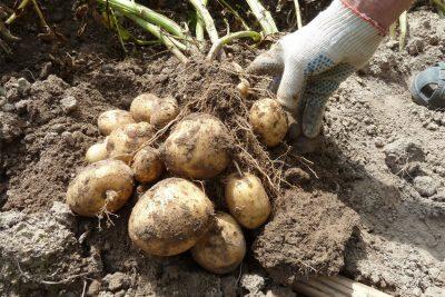 Когда копать картошку в 2021 году
