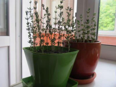 Тимьян выращивание в квартире