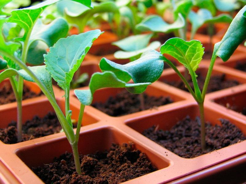 как часто поливать рассаду капусты на подоконнике