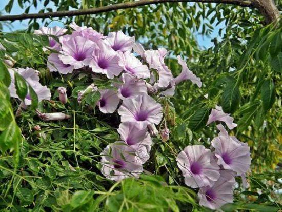 Цветы декоративная фасоль