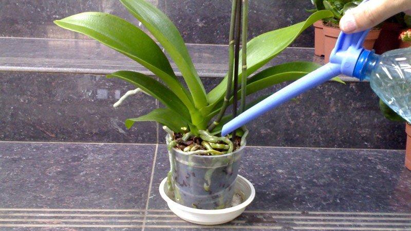 kak-chasto-polivat-orhideiu