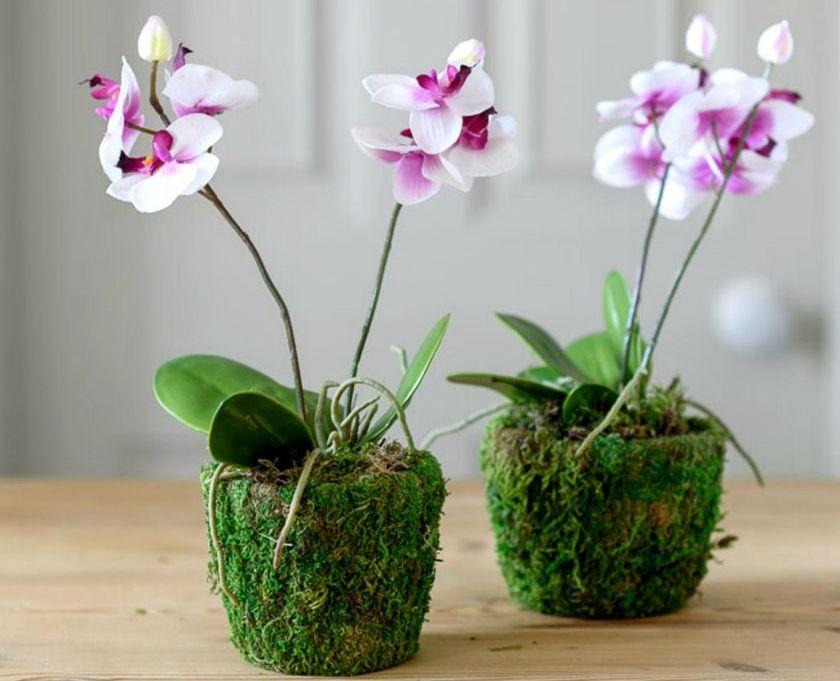 orhidei vo mhu