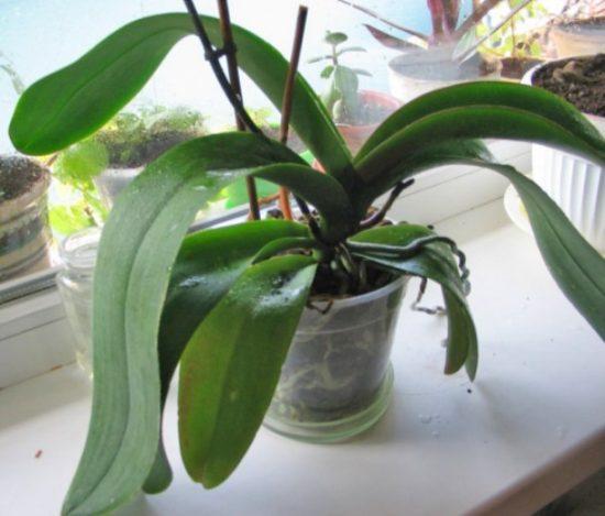 orhideja ne cvetet