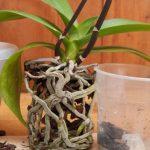 orhideya-s-kornyami-bez-gorshka