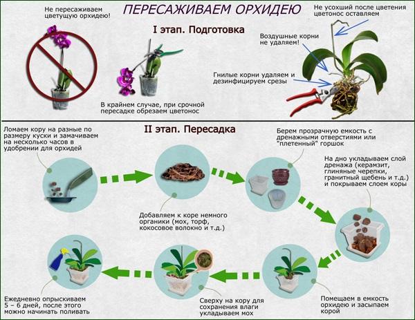 orhideya-shema-peresadki