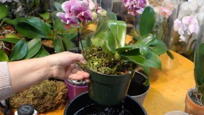 poliv orhidei v magazine