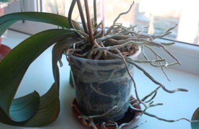 razvitie kornej orhidei