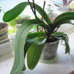 Не Цветет Орхидея