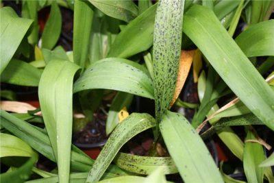 orhideja cimbidium bolezni
