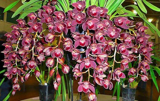 orhideja cimbidium v cvetu