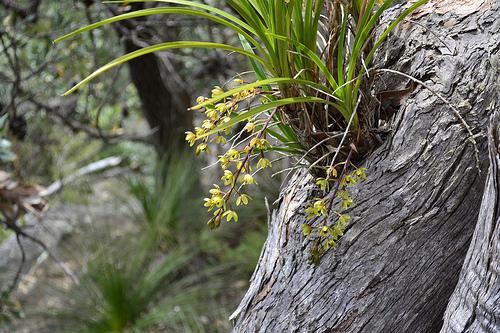 orhideja cimbidium v prirode