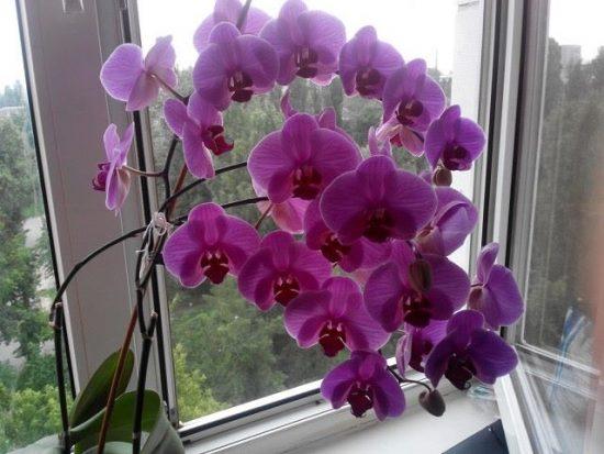 orhideja na skvoznjake