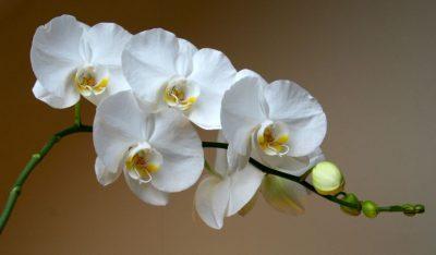 Почему орхидея сбрасывает цветы: что делать