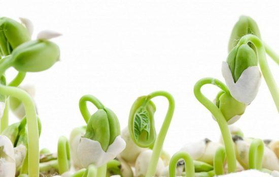 prorosshie-semena-fasoli