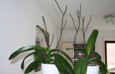 pustye cvatonosy orhidei