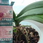 Янтарная Кислота Для Орхидеи