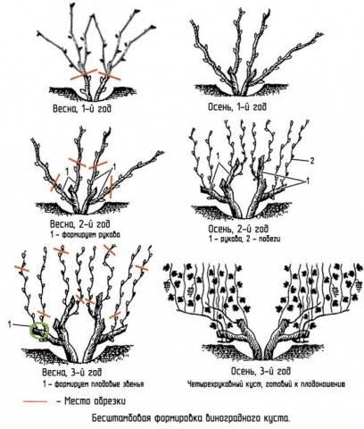 Схема обрезки винограда 2 года