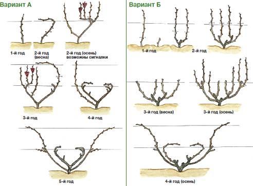 Схема обрезки винограда 1 года