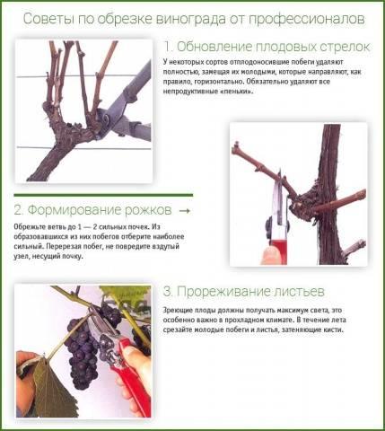 Схема обрезка винограда 4 года