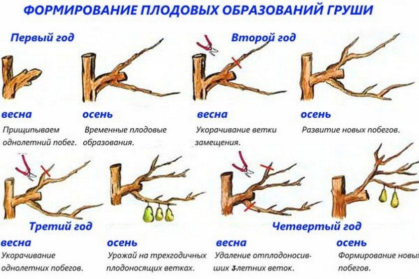 схема- обрезки груши
