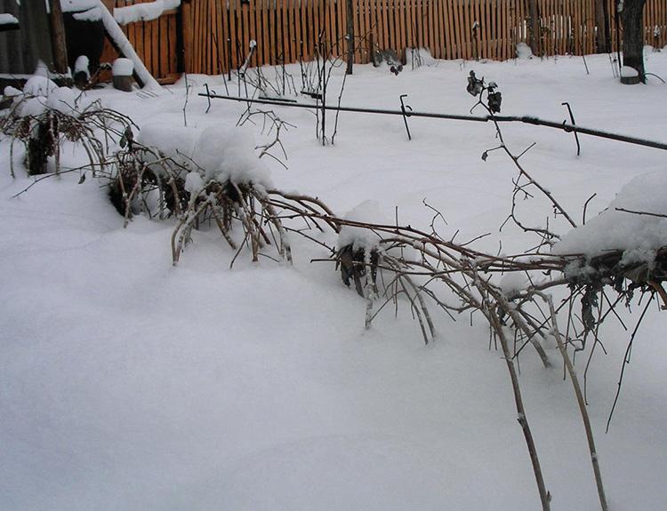 укрыть малину на зиму при помощи снега