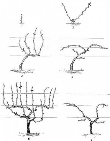 Схема обрезка винограда 3 года