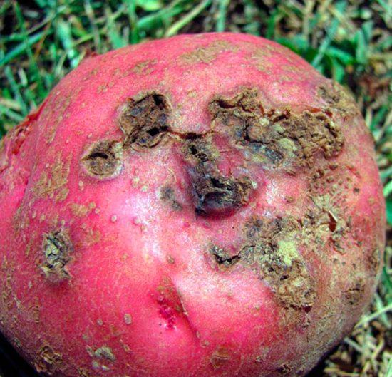 фитовтороз картофеля