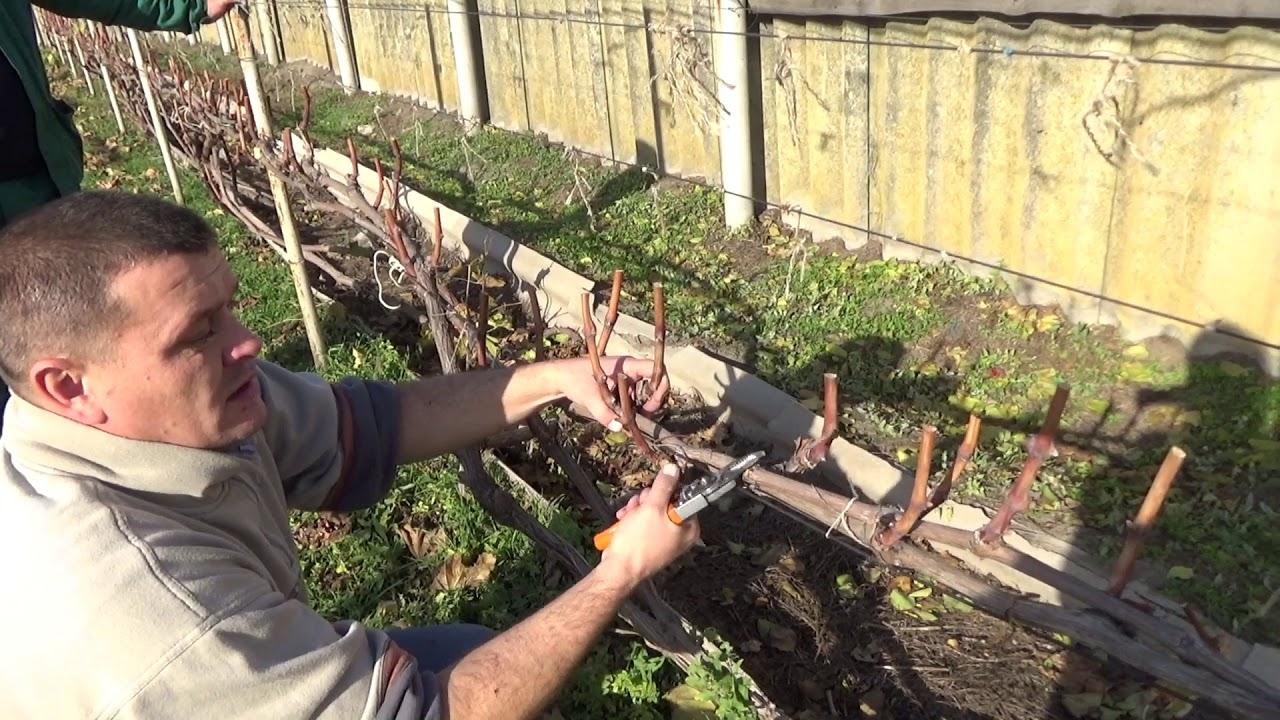 фото обрезки винограда