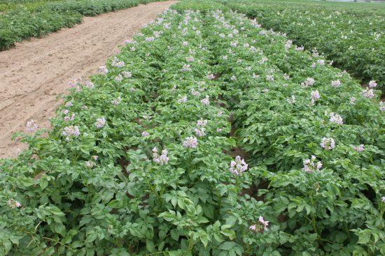 кусты картофеля жуковский ранний