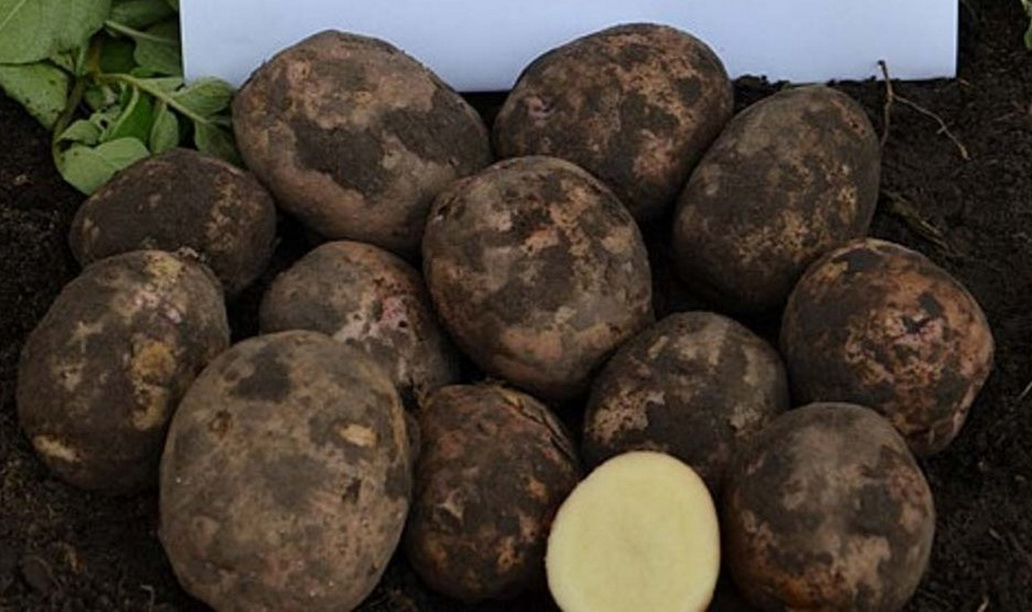 хочется картофель луговской описание сорта фото отзывы тест