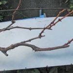основные секреты по проведению обрезки винограда осенью, соблюдение которых станет залогом получения качественного и большого урожай ягод