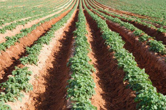 междурядья картофеля