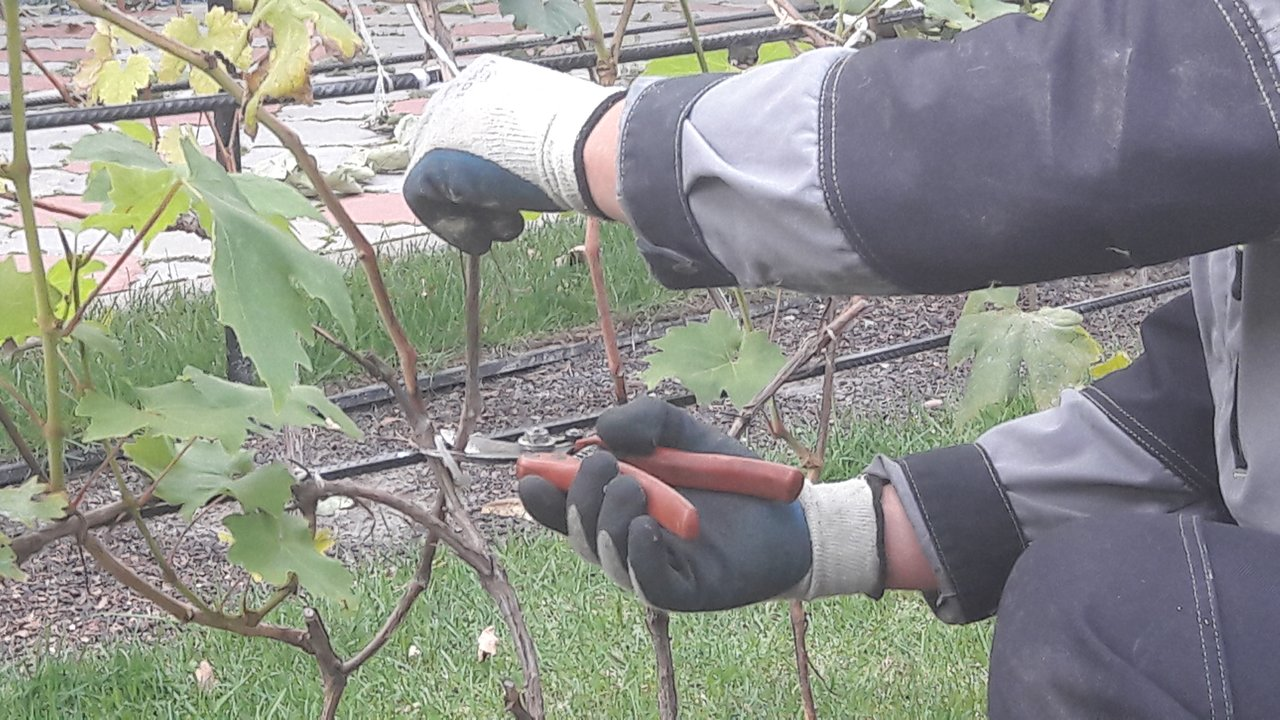 обрезка виноградной лозы