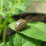 от колорадского жука