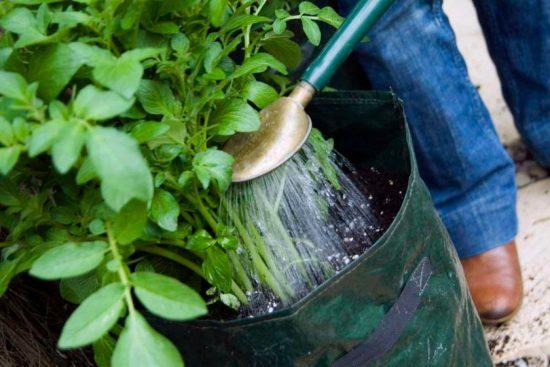 полив картофеля в мешках