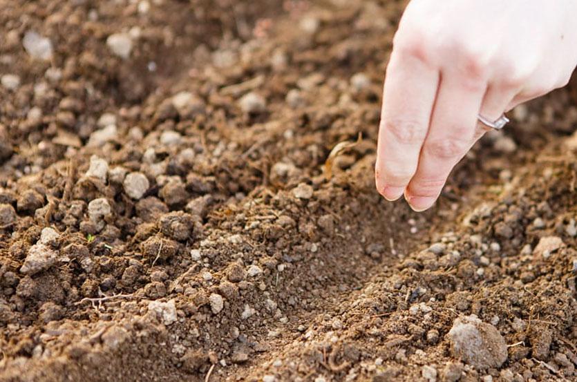 высадка семян в почву