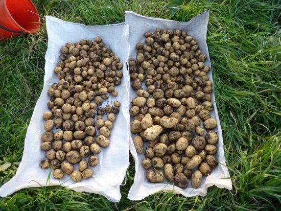 просушка картофеля