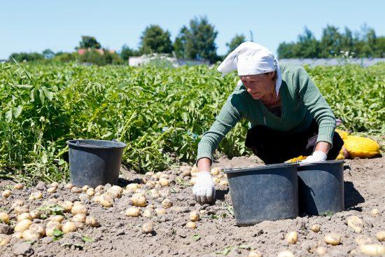 Агроном: Как хранить картофель: полезные советы и секреты в 2020 году