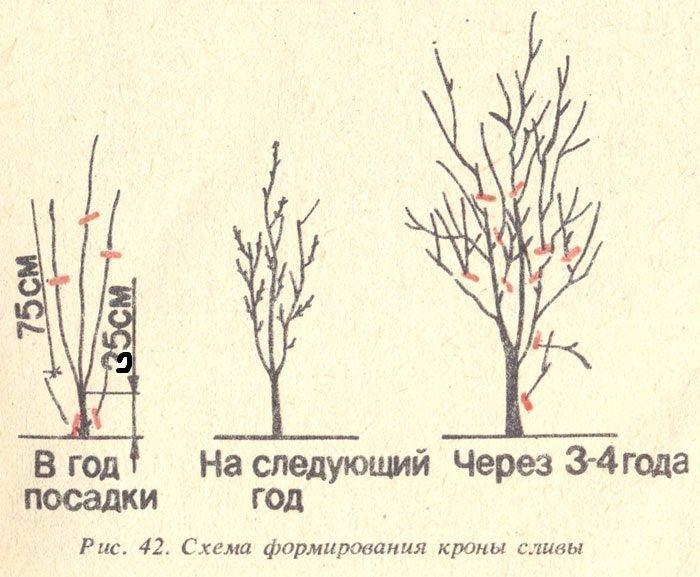 обрезка сливового дерева