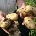 сорт картофеля джувел