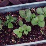 Клубника и земляника довольно капризные растения для выращивания в домашних условиях. Но придерживаясь рекомендаций Лунного календаря и некоторых правил можно вырастить здоровые и крепкие саженцы на рассаду в 2019 году.