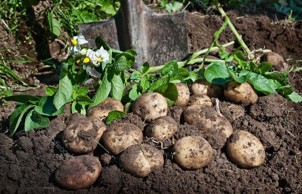 Прикольные картинки про копку картошки вопрос