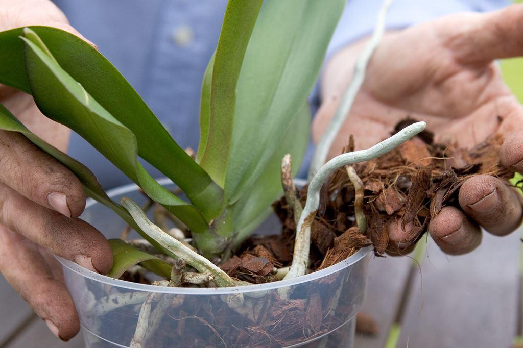 сей день пересадка орхидеи пошаговое фото пост посвящается